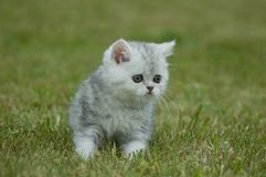 Kitten in the green grass Royalty Free Stock Images