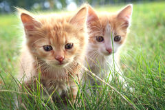 Kitten on green grass Royalty Free Stock Images