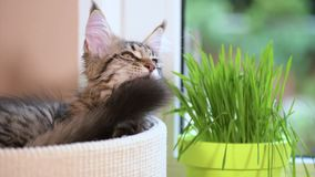 Kitten with green grass on windowsill. Cute kitten eats fresh green grass at home. 3,5 months old domestic young black tabby mackerel Maine Coon kitty in stock video footage