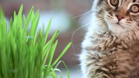 Kitten with green grass on windowsill. Cute kitten eats fresh green grass at home. 3,5 months old domestic young black tabby mackerel Maine Coon kitty on stock video