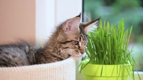 Kitten with green grass on windowsill. Cute kitten eats fresh green grass at home. 3,5 months old domestic young black tabby mackerel Maine Coon kitty in stock video