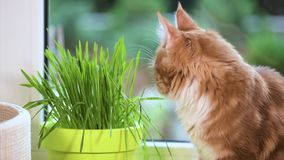 Kitten with green grass on windowsill. Cute kitten eats fresh green grass at home. 6,5 months old domestic young red-haired Maine Coon kitty on windowsill in stock video