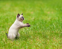 Kitten on the green lawn Royalty Free Stock Images