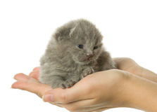 Kitten in hand Royalty Free Stock Photo