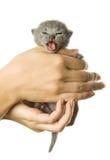 Kitten in hand Stock Images