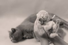 Kitten in hand, British Shorthair. Cute small one day old baby cat in a woman hand, first day of life British Shorthair kitten Royalty Free Stock Photo