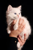 Kitten on the hands Stock Photography