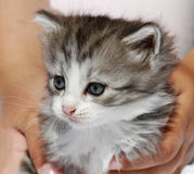 Kitten in hands. Royalty Free Stock Photo