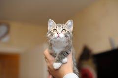 Kitten on hands royalty free stock photo