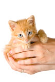 Kitten in a hands Royalty Free Stock Image