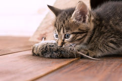 Kitten has caught the mouse and plays Stock Image
