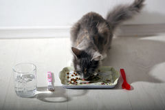 Kitten having breakfast Royalty Free Stock Photo