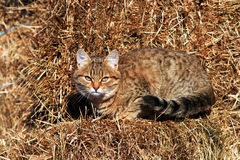 Kitten on hay Royalty Free Stock Image