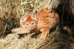 Kitten on hay Royalty Free Stock Images
