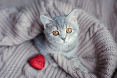 Kitten with heart in on Valentine's Day. Gray kitten with heart in on Valentine's Day royalty free stock photography