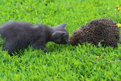 Kitten and hedgehog Stock Photo