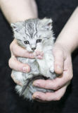 Kitten held in hands on black Royalty Free Stock Photo