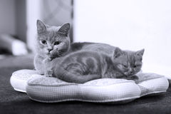 Kitten with her mother on a pillow Royalty Free Stock Image