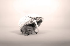 Kitten hiding in a basket. Cute kitten in a small basket, British Shorthair cat, isolated, copyspace stock photos