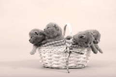 Kitten hiding in a basket. Cute kitten in a small basket, British Shorthair cat, isolated, copyspace royalty free stock photo