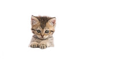 Kitten hiding behind a white banner Stock Images