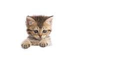 Kitten hiding behind a white banner Royalty Free Stock Photos