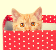 Kitten hiding in a box Royalty Free Stock Image
