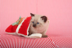 Kitten hiding in Christmas stocking stock photo