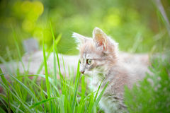 Kitten hiding in the grass looking intently prey Stock Photography