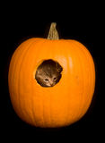 Kitten hiding in a pumpkin royalty free stock image