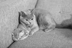 Kitten and his mother Royalty Free Stock Images