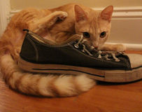 A kitten and his sneaker. Old and worn out blue shoe posed with an orange tabby cat who is looking towards the camera lying down Stock Photo