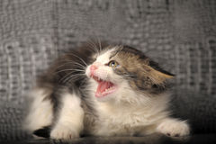 Kitten hisses Stock Image