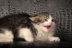 Kitten hisses Royalty Free Stock Image