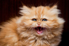 Kitten hisses. Persian kitten hisses on a dark, close-up royalty free stock photo
