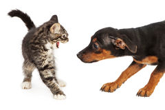 Kitten Hissing at Puppy Stock Photo