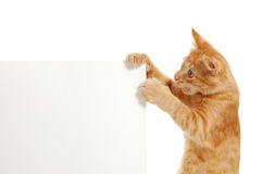 Kitten holding banner's corner Stock Photography