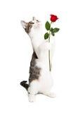 Kitten Holding Rose Looking Up Stock Fotografie