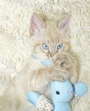 Kitten Holding a Toy. A blue eyed Siamese, Balinese mixed breed kitten holding tightly to his stuffed toy royalty free stock photography