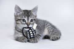 Kitten holding a toy Royalty Free Stock Image