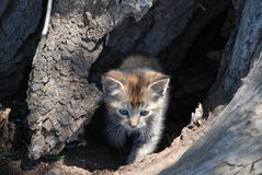 Kitten in Hollow Tree Trunk. After having a litter of kittens in one of our sheds one winter, our visiting stray mama cat moved them to various secluded Royalty Free Stock Photos