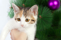 Kitten in human hands on the background of Christmas Stock Photography