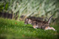 Kitten on hunt Royalty Free Stock Photos