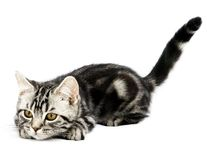 Kitten hunting. Silver tabby british kitten hunting isolated in the white background stock images
