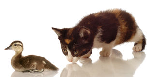 Kitten hunting a baby duck. Calico kitten hunting a baby mallard duck on white background royalty free stock photography