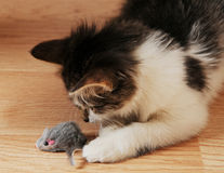 Kitten hunts for a toy mouse Stock Photos
