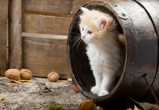 Kitten In A Barrel Royalty Free Stock Photo