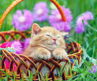 Free Kitten In A Basket Royalty Free Stock Photos - 49530418