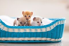 Free Kitten In A Basket. Baby Cat At Home Royalty Free Stock Photos - 197936988