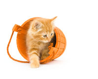 Kitten In An Orange Barrel (one In A Series) Royalty Free Stock Photography